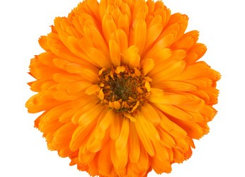 "Have you planted ""Marigolds""?"